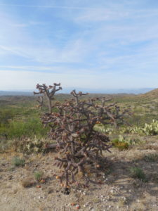 Purple choya cactus